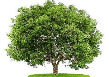 Модрина - це хвойне або листяних дерев