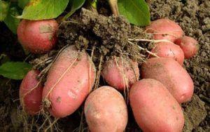 Улюблений народний картопля «репанка»: опис сорту, фото, характеристика