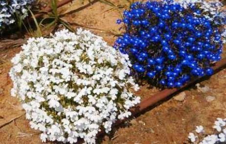 квіти на дачі