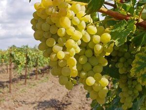 Кращі види добрива для максимального плодоношення виноградних кущів