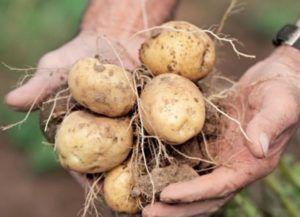 Кращий вітчизняний сорт картоплі блакить: фото, опис, характеристика