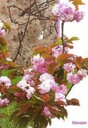 Луізеанія - теж сакура, агротехніка культури, опис, фото