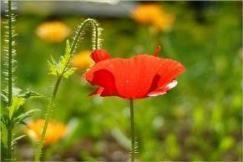 квіти маку