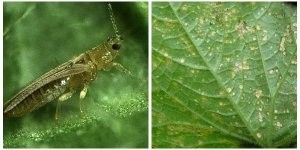 «Маленькі і підступні», ніж вивести трипс в хризантемі і інших рослинах