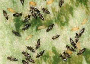 Маленькі ненажерливі шкідники, тютюновий, цибульний, пшеничний і інші види трипс