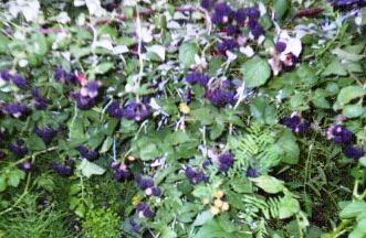 Чорна малина: особливості культури та агротехніка