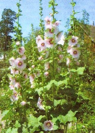 Мальва, проскурник, або шток-троянда, культура, особливості та різновиди, агротехніка