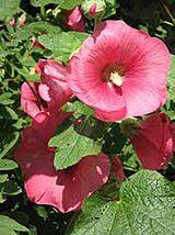 Мальва (шток-троянда)