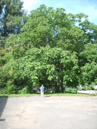 Маньчжурський горіх: культура, корисні властивості, використання в дизайні садів і вулиць