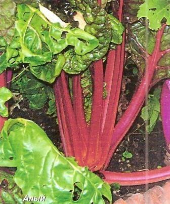 Мангольд, або листовий буряк, особливості культури, агротехніка