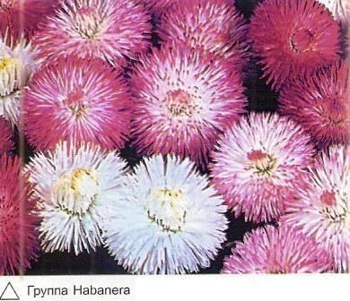 Маргаритка, історія поширення та селекції квітів, групи і сорти