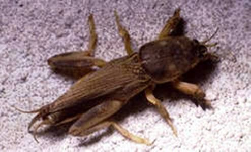 Капустянка, або капустянка і боротьба з нею, опис, фото