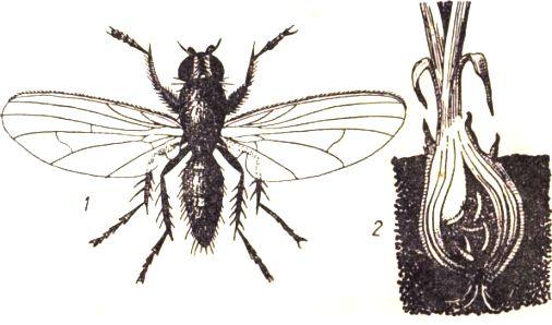 цибулевий муха