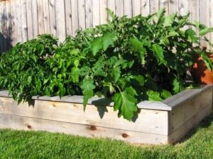 Методи боротьби зі шкідниками розсади баклажан