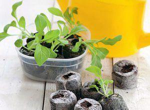 Методи вирощування розсади баклажан в равлику, торф`яних таблетках і на туалетному папері: особливості посадки і правильний догляд за кожному способі