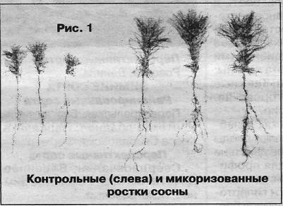 Мікориза деревних рослин і структура грунту