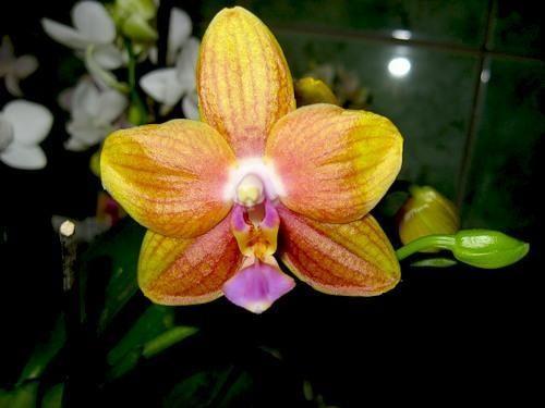 Міні-орхідея (карликова) фаленопсис: догляд і розмноження в домашніх умовах