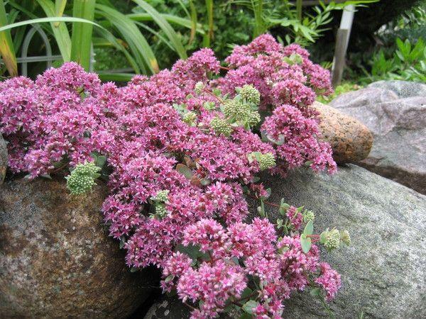 Багаторічна рослина очиток еверса: посадка, догляд та розмноження