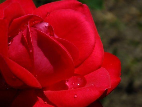 Моє «секретне» добриво для яскравого забарвлення троянд.