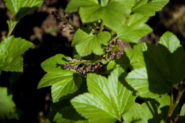 Мохова смородина, рідкісний і цінний вид смородини, умови зростання
