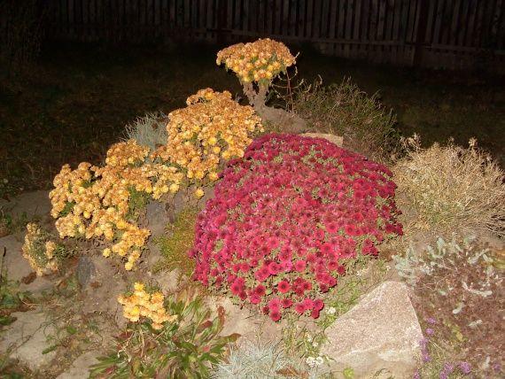 Мій догляд і розмноження хризантем