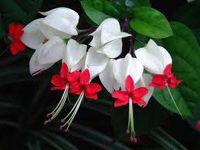 догляд за квіткою клеродендрум в домашніх умовах