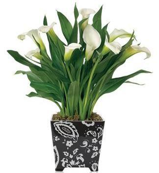 Калла: температурний режим, освітлення і полив кімнатної рослини