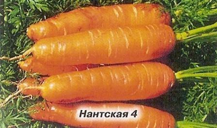 Морква: 100 років селекції в росії, кращі сорти моркви