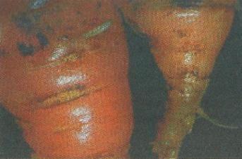 Морквяна муха, способи профілактики і боротьби