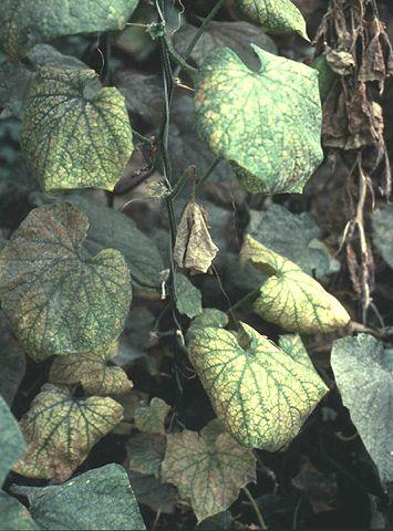 Фото ураженої рослини мозаїкою