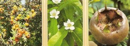 Мушмула, опис, фото, агротехніка