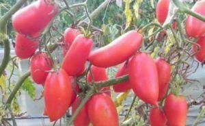 Ошатний сорт без недоліків - томат «червоні свічки»: опис і фото