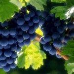 vinograd, виноград