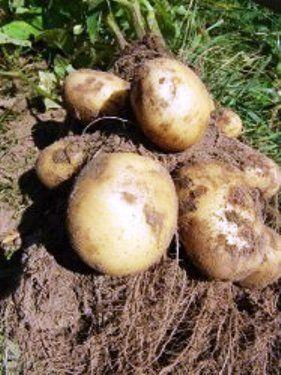 Неінфекційні хвороби картоплі, їх профілактика