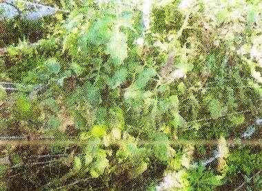 Неінфекційні, інфекційні та вірусні хвороби томатів, боротьба і профілактика