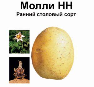 Картопля сорту Моллі: опис