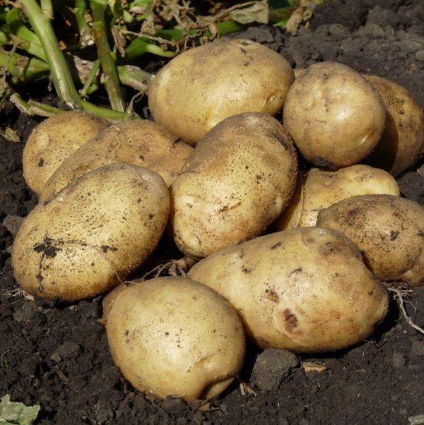 Фото картоплі сорту Моллі