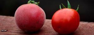 Незвичайний сорт томата «абрикос» f1: опис сорту, характеристики плодів, гідності даного виду помідорів, боротьба з шкідниками