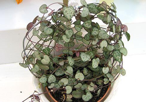 Невибаглива і забавне рослина церопегія. Догляд, розмноження в домашніх умовах