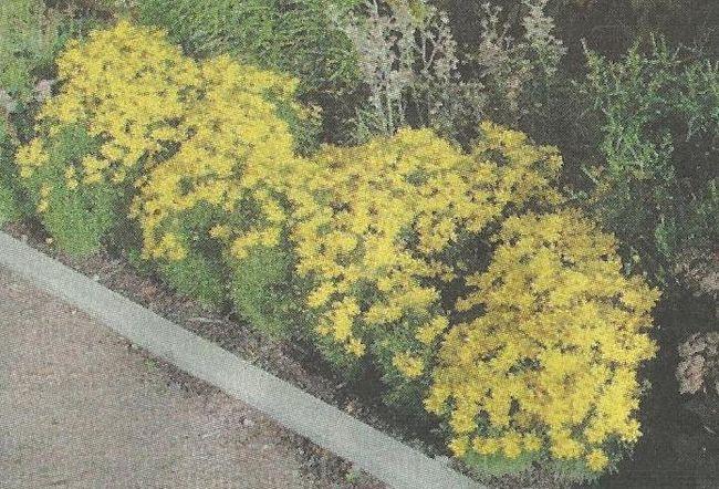 Невибагливі квіти кореопсису багаторічного в саду