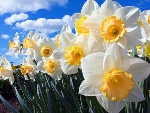 Невибагливі нарциси прокидаються разом з ранньою весною