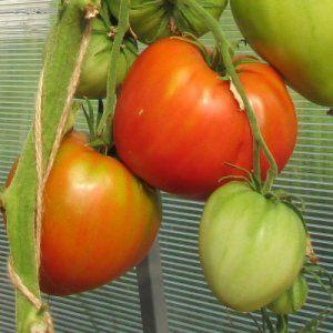 Невибагливий гібрид для відкритого грунту - опис сорту томату «леді   шеді»