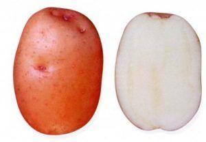 сорт картоплі Красунчик