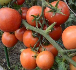 Невибагливий томат «ямал» виросте без ваших зусиль: характеристика і опис сорту