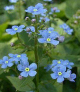 Незабудка: види, посадка, догляд, використання в ландшафті саду