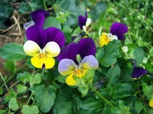 Ніжна квітка фіалка: сорти, можливі хвороби, догляд і розмноження