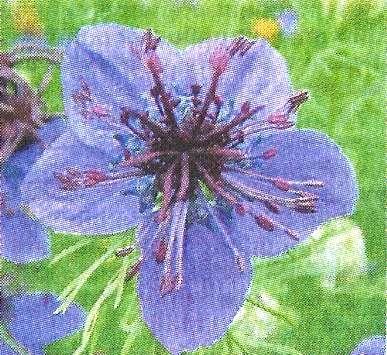 Нігелла, декоративна квіткова культура, її види та особливості догляду