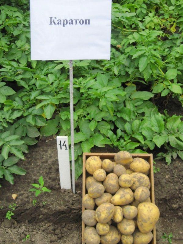 Фото картоплі сорту Каратоп
