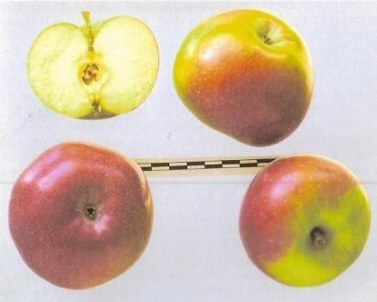 Нові колонновідние яблуні академіка седова, опис сортів
