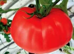 Новий апетитний сорт томатів бабусин секрет: опис сорту, фото, характеристика